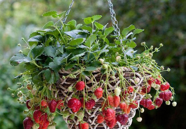 Cultiva capsune la tine acasa in cosulete suspendate! Iata cum!