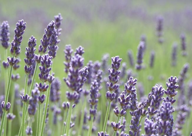 Aromoterapia: 7 plante parfumate pe care trebuie sa le cultivi in gradina ta