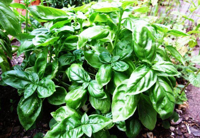 Cum sa cultivi busuioc gigantic in gradina ta. Tu ai mai auzit de el?