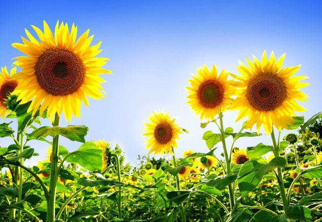 5 varietati superbe de floarea soarelui cu un colorit surprinzator