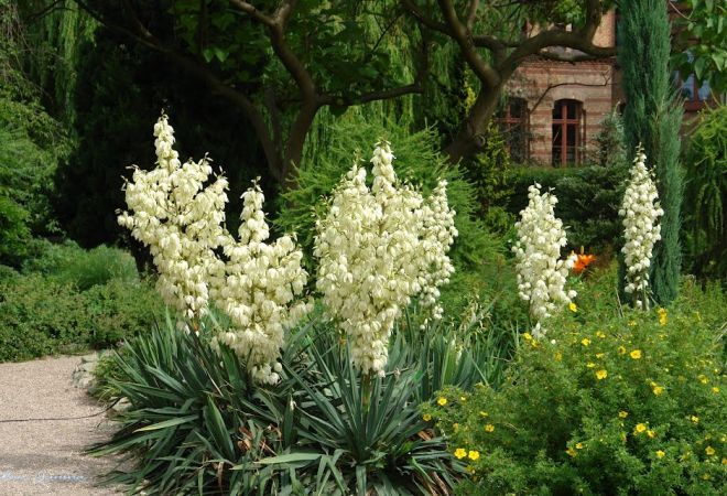 Yucca, o planta pentru oameni sensibili. Invata cum sa o ingrijesti corect