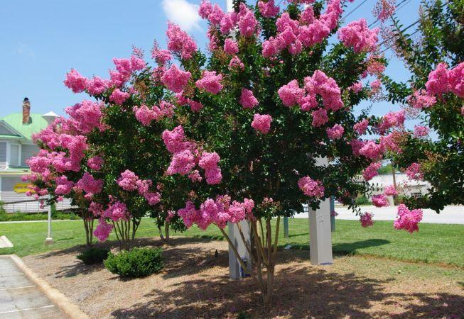 Liliacul indian, arbustul de care ai sa te indragostesti