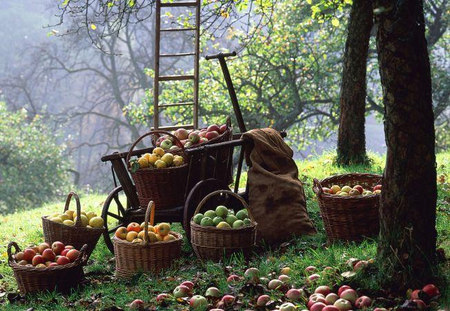 Cum sa culegi si sa pastrezi corect fructele de toamna din gradina ta!