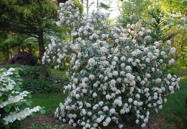 Calinul, un arbust elegant pentru orice gradina