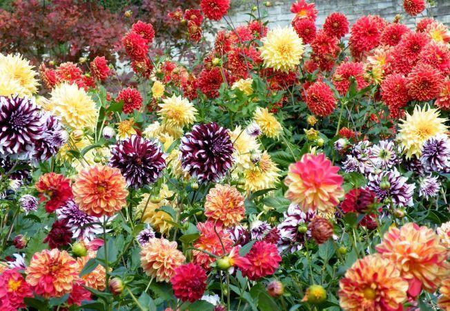 4 flori de toamna care rezista pana la primul inghet