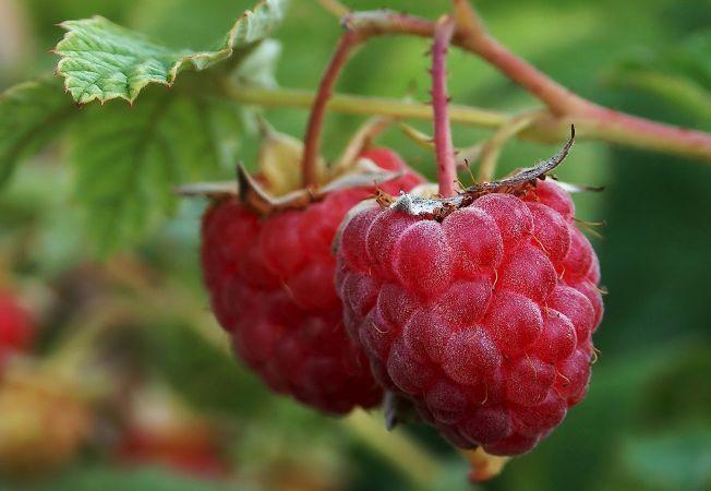 Planteaza zmeura toamna si vei avea recolta bogata vara