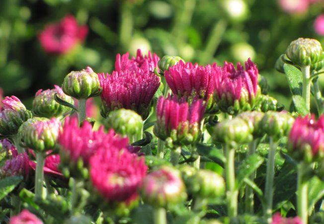 Crizantemele, 4 sfaturi de ingrijire a celor mai frumoase flori ale toamnei
