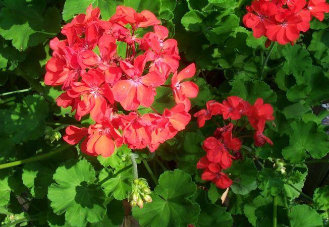 Muscata, planta care se umple de flori chiar si iarna