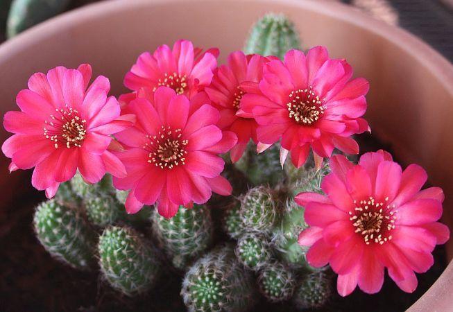 """Cactusii, """"teposii"""" cu flori superbe care dau farmec casei tale"""