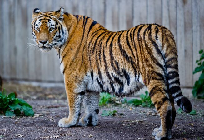 Inedit. Prietenie incredibila intre un tigru de la Zoo Galati si doi soricei