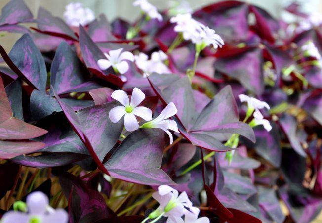 Cele mai frumoase plante cu flori pe care sa le cultivi in casa