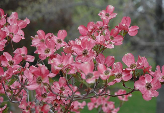 Frumusete in alb si roz: 6 moduri in care arbustul Cornus florida iti infrumuseteaza gradina