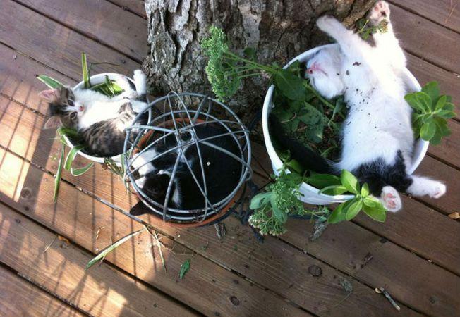 pisica in ghiveci 3