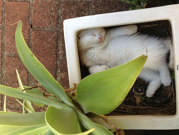 pisica in ghiveci 5