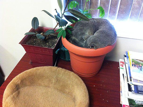 pisica in ghiveci 6