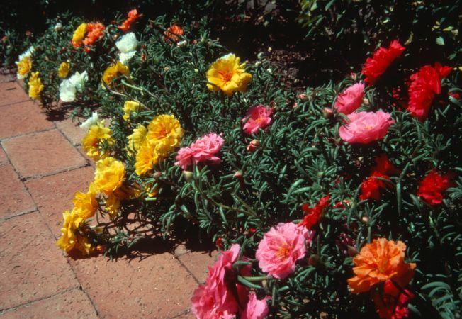 Borduri frumoase si colorate, din flori de piatra