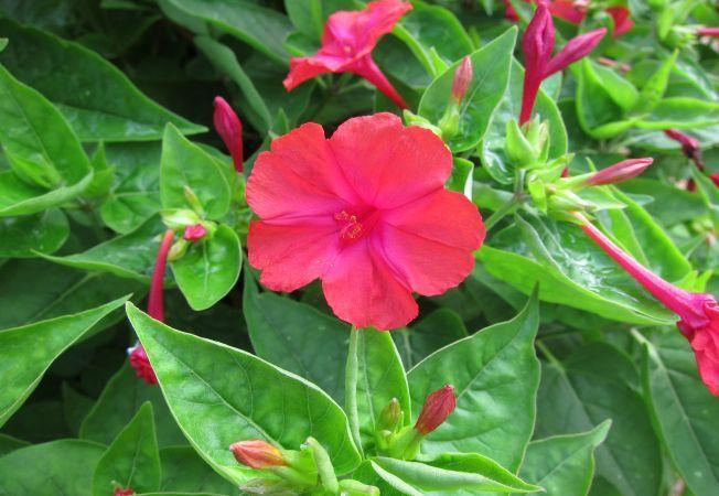 Cum cultivi Mirabilis jalapa, floarea care infloreste la ora 16:00