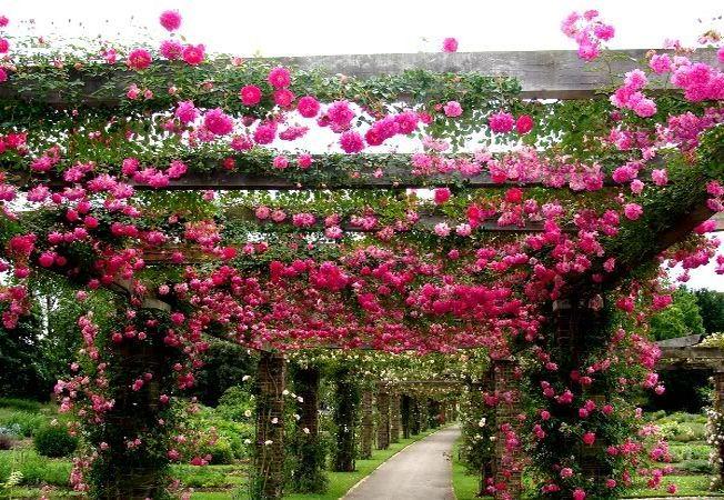 Cei mai frumosi trandafiri cataratori pentru gradina ta