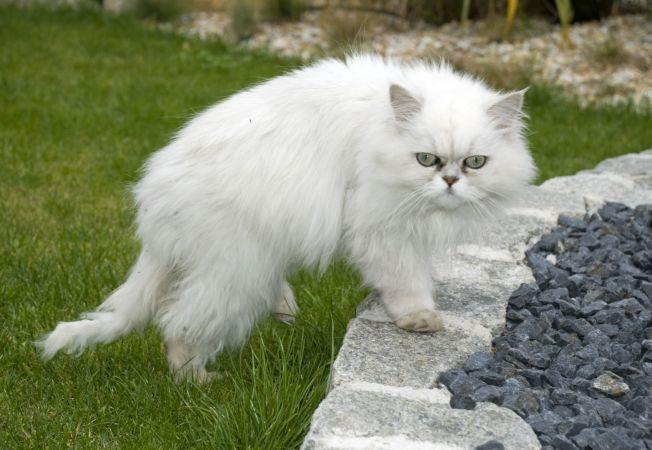 hepta pisica