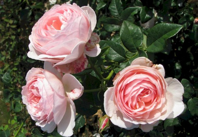 trandafiri