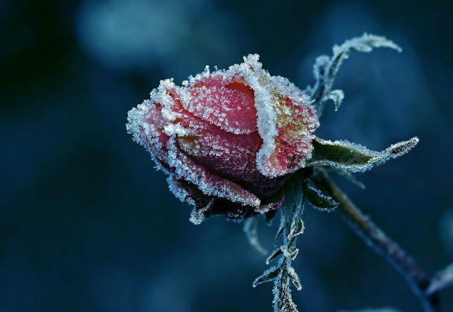 trandafiri iarna