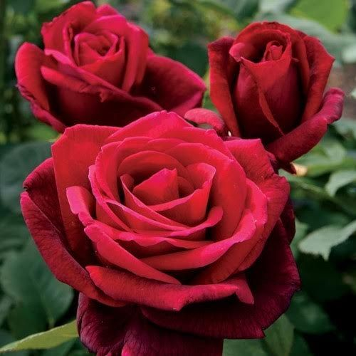 trandafiri jardina.eu