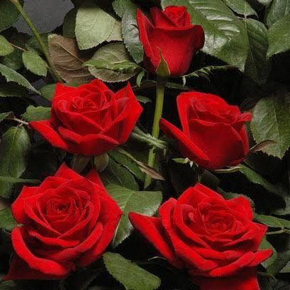 trandafiri taiati jardina.eu