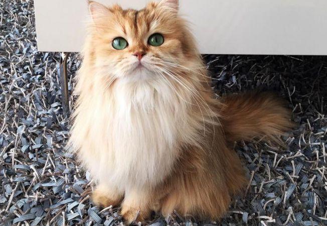 Smoothie pisica