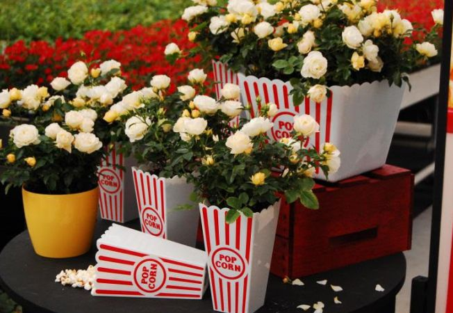 trandafiri gradina miniaturali popcorn drift