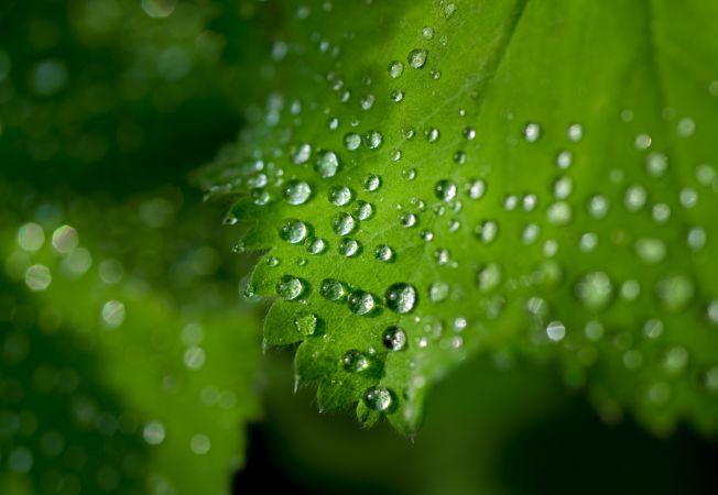 plante lacrimi