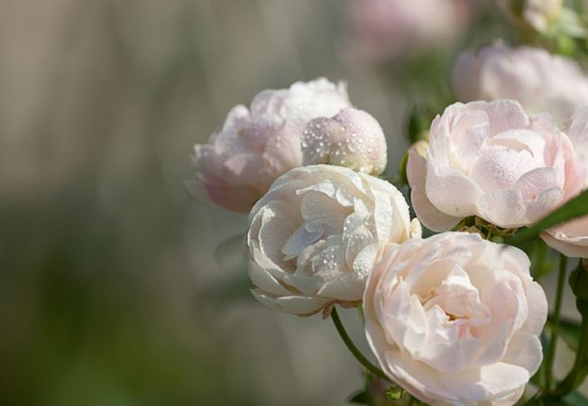 trandafiri gradina