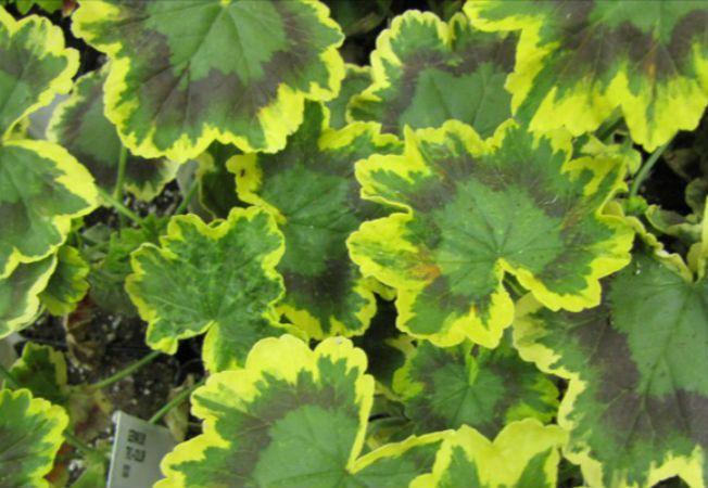 9 motive pentru care frunzele plantelor se ingalbenesc for Plante x ragnarok
