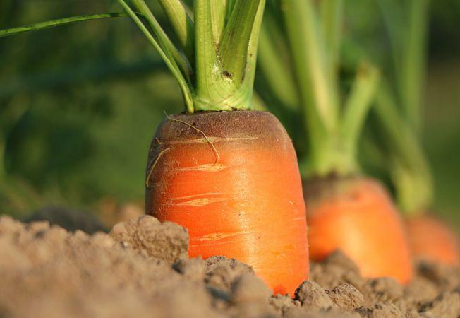 Cum si cand se planteaza morcovii in gradina