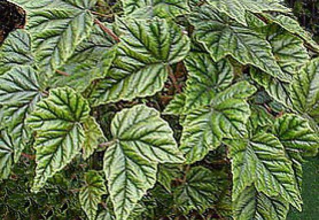 begonia metalica