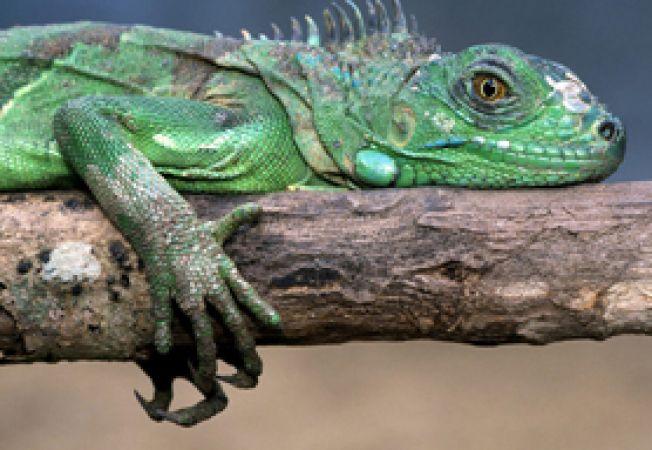 iguana 1