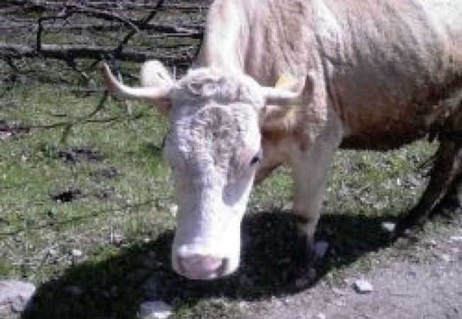 455875 0810 vaca