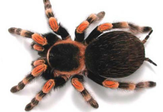 tarantula9 index
