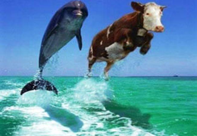 vaca si delfin