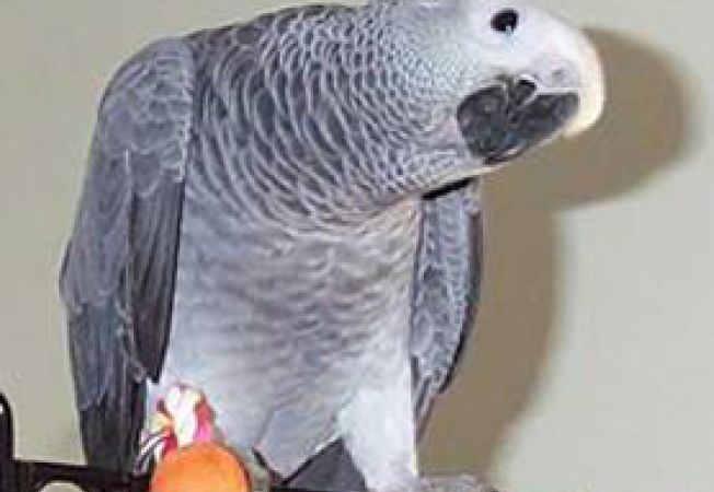 papagal vorbitor6
