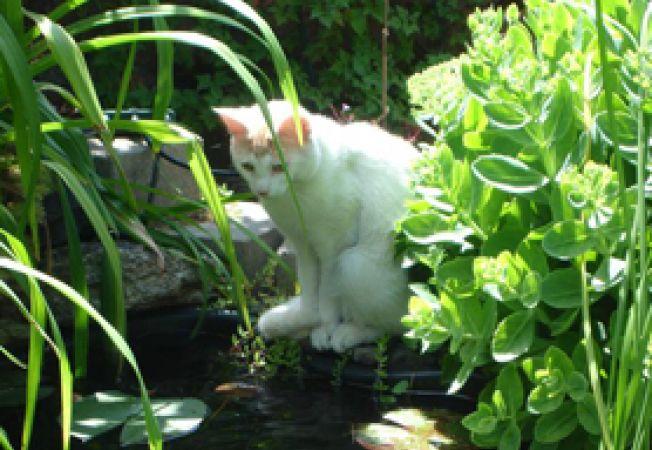 pisica de curte