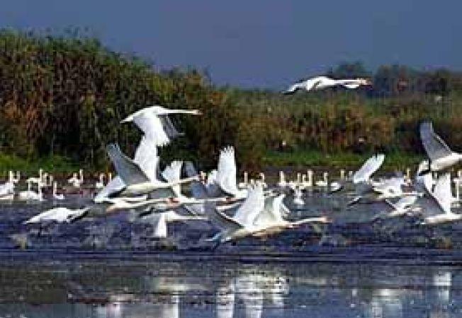 Delta Dunarii lebede