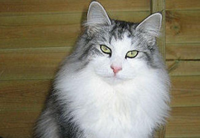bolile pisicii