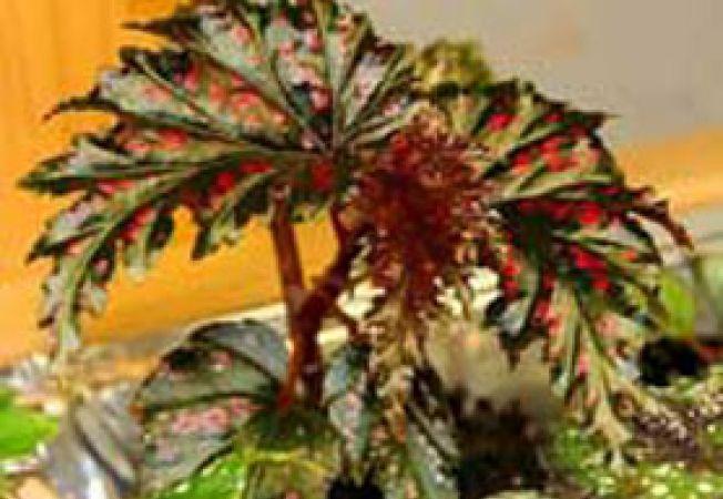 begonia serratipelata