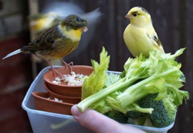 hranirea canarului