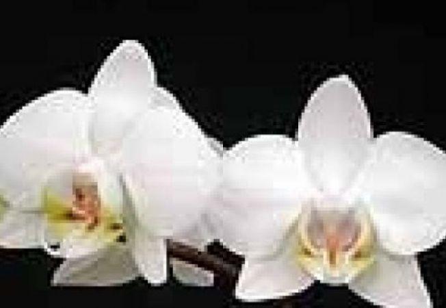 Phalaenopsis ordidee
