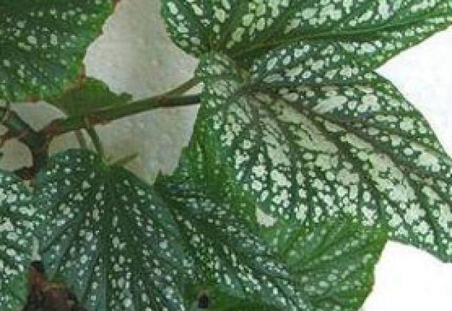 begonia coralina