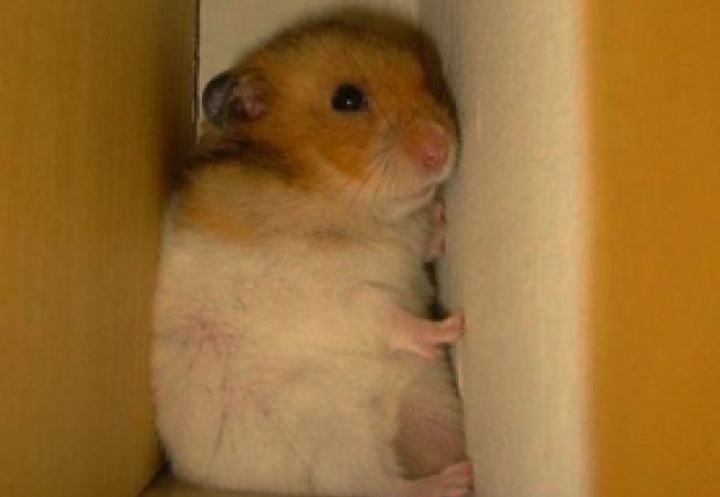 hamster pierdut