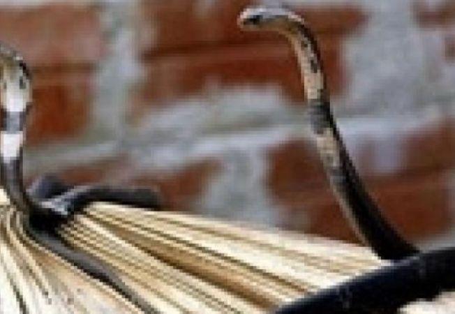 sarpe cobra
