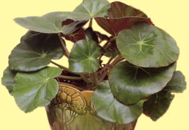 begonia featsii