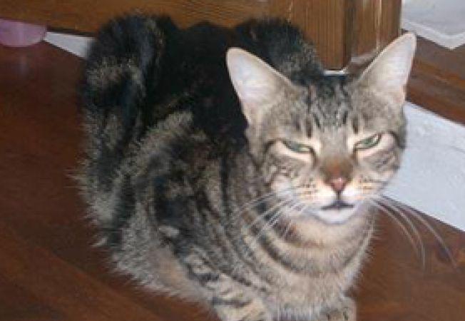 pisica gestanta